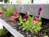 lettuce and edible violas