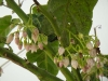 tamarillo flowers