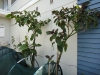 tall tamarillo trees