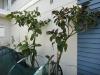tall tamarillo trees