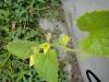 honeydew flowers