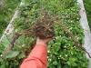 cauliflower roots