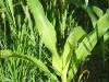 sun shining on sweet corn