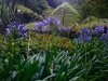 agapanthus and ferns