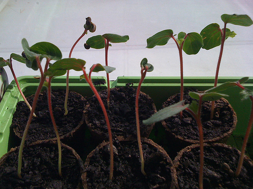 020210 okra burgundy seedlings