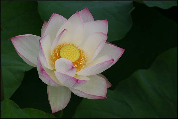 Lotus by David Midgley, 2008, This work is licensed under a  Creative Commons Attribution-Noncommercial 3.0 Unported License