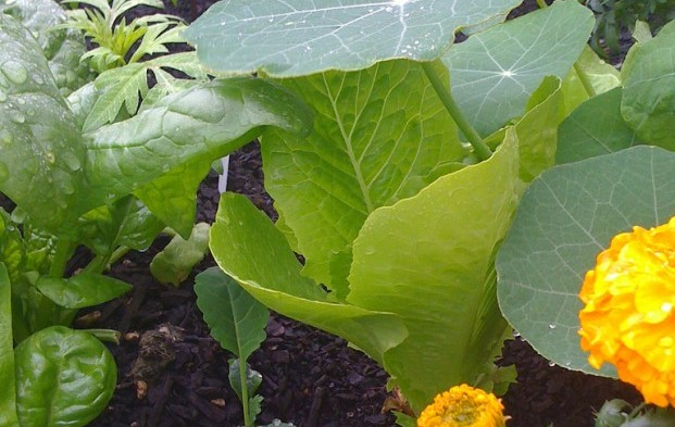 cos or romaine lettuce, spinach, kale marigold and nasturtium