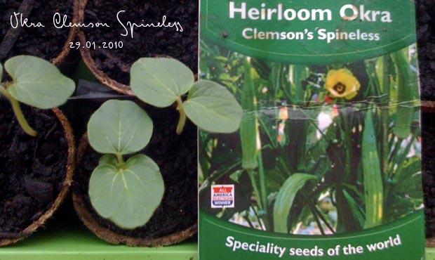 Okra Clemson Spineless seedlings