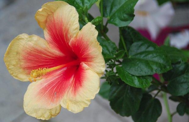 Hibiscus rosa sinensis pink radiance