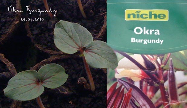 Okra Burgundy seed packet and seedlings