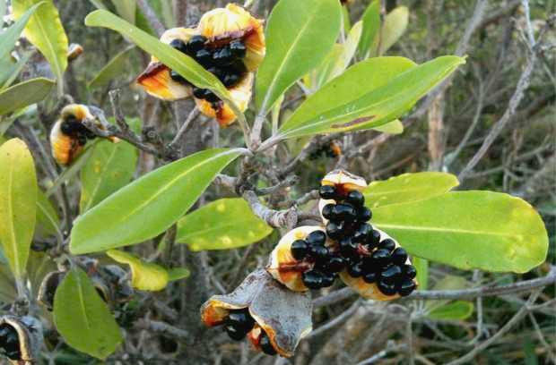 Karo - Pittosporum Crassofolium