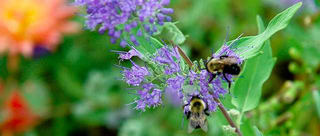 Bees in the Nepeta with Dew (NYC Skygarden)