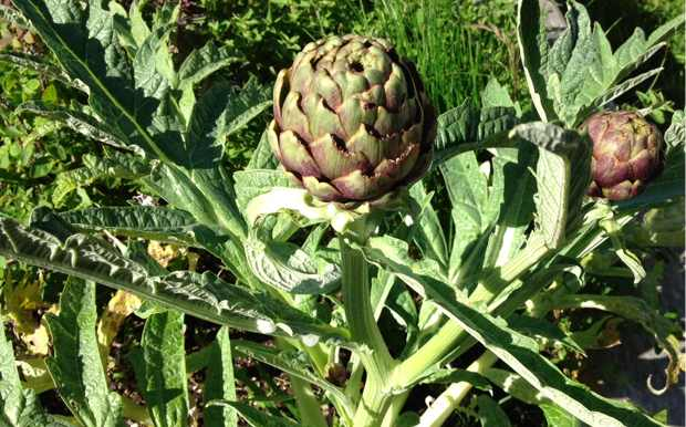 my first globe artichokes