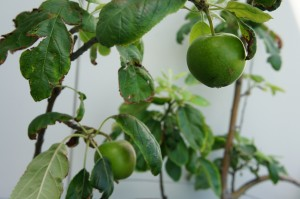 Green apples on the espaliered apple