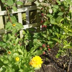 Calendula and blackberry
